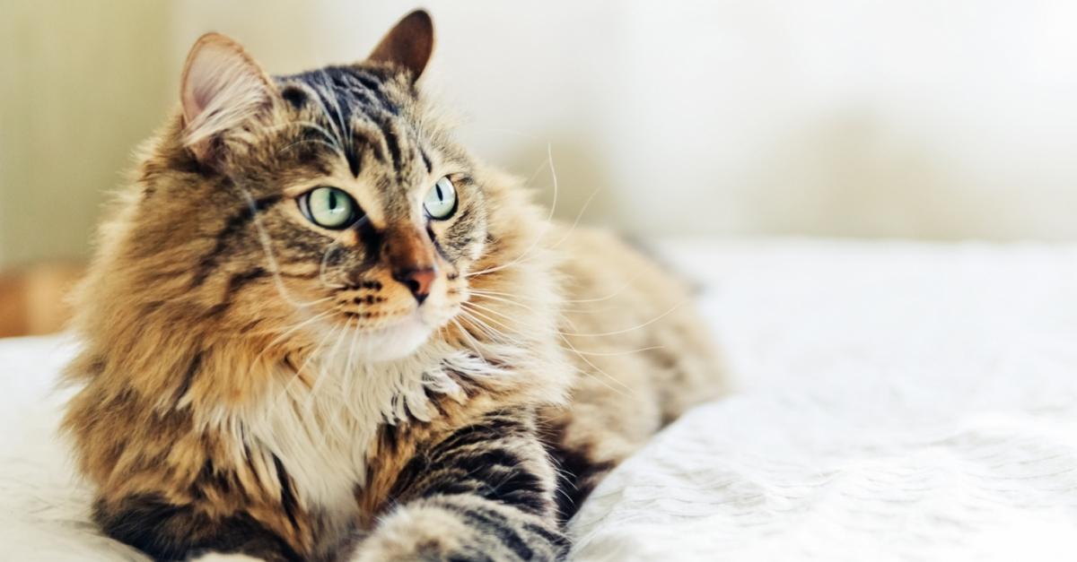 Az akne-miteszer-pattanás, Giardia lamblioza u kota leczenie